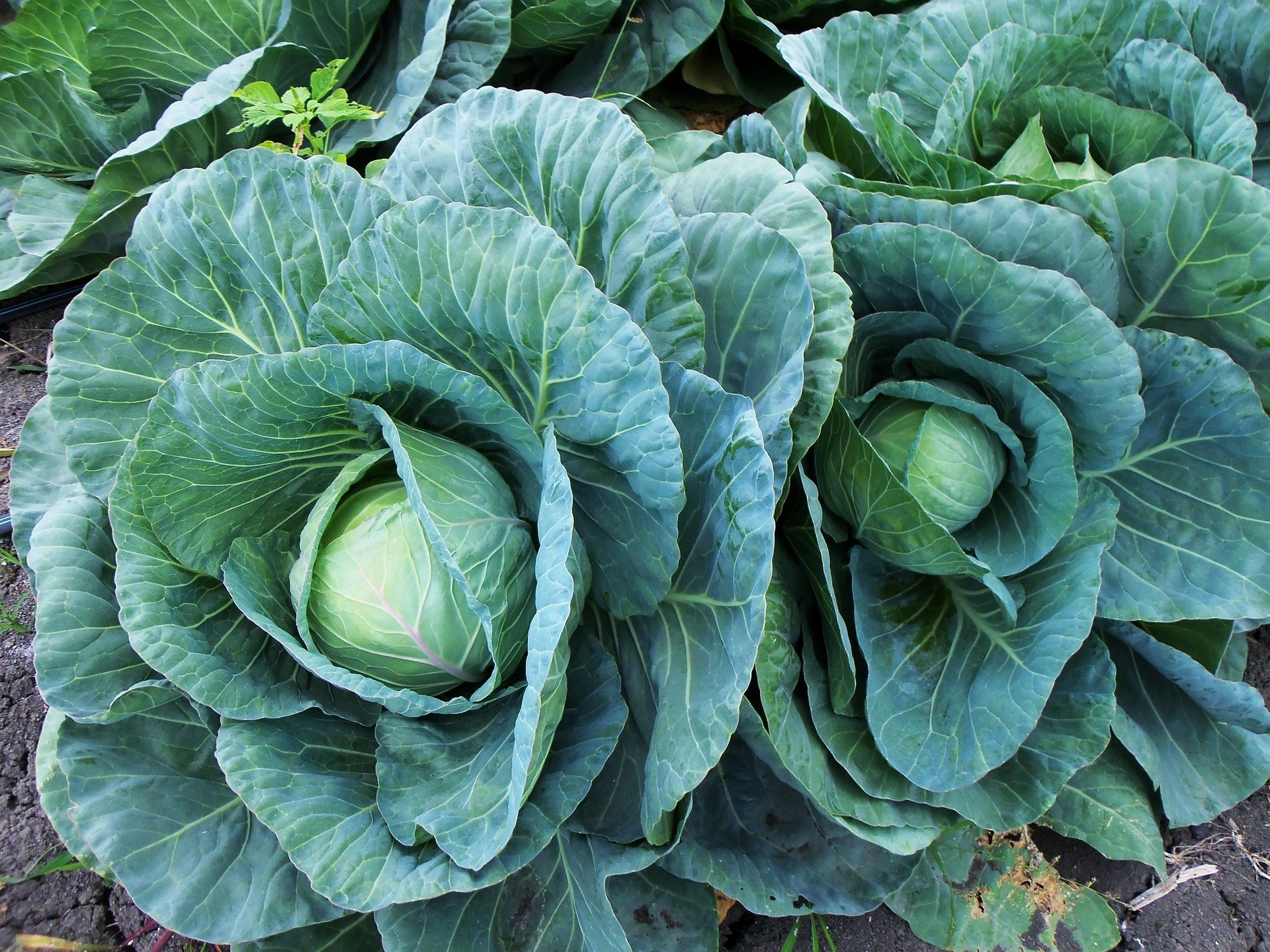 Eating Vegan in Portugal Cabbage
